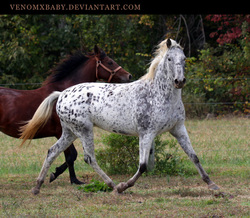 appaloosa mares traveller dreams acres